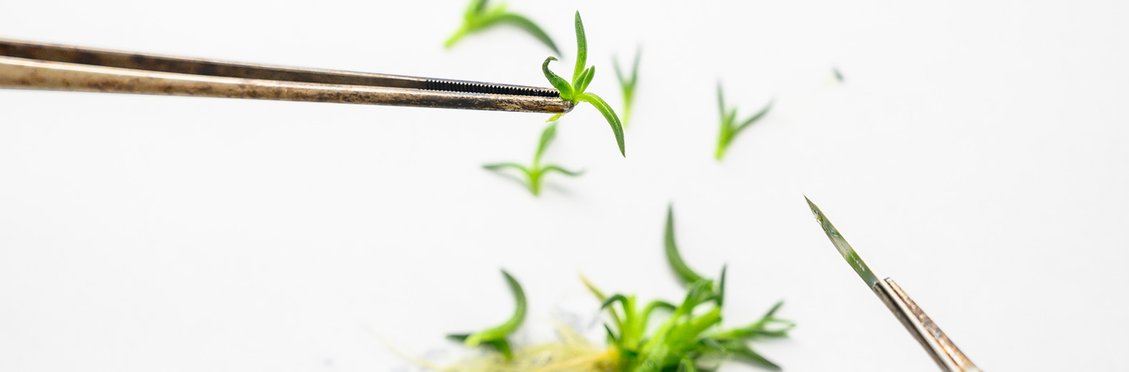 Next Stage Labs | Ornamental Plant Industry